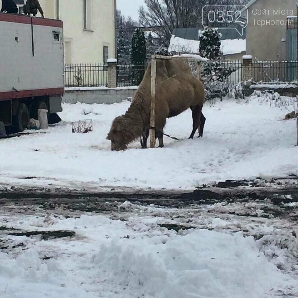 Цирк поїхав, а верблюда залишив... перезимувати на Тернопільщині (фото), фото-1