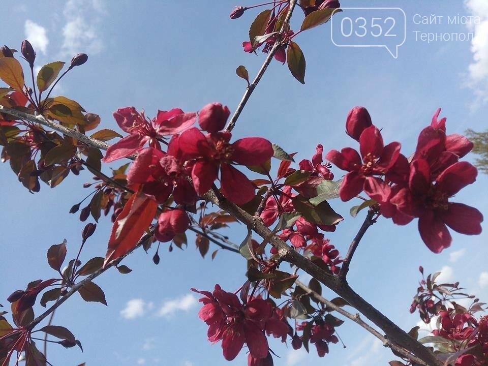 У тернопільському парку зацвіли райські яблуні (ФОТО), фото-1