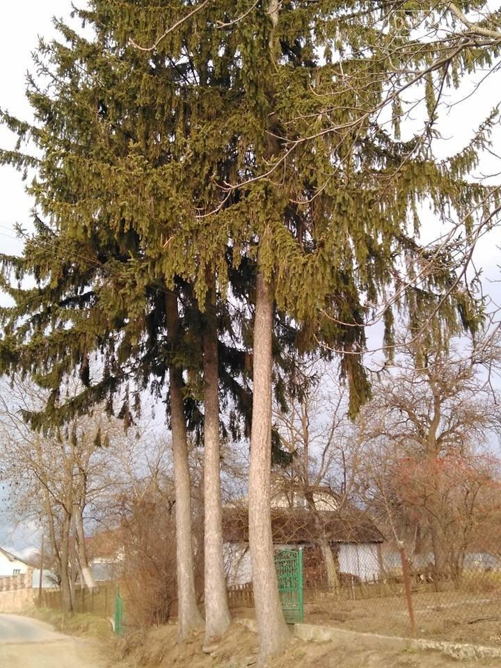 Неймовірно чуйна історія Тернопільщини: чоловік на честь трьох синів посадив три ялини,  а зараз їм уже по сто років (ФОТО), фото-1