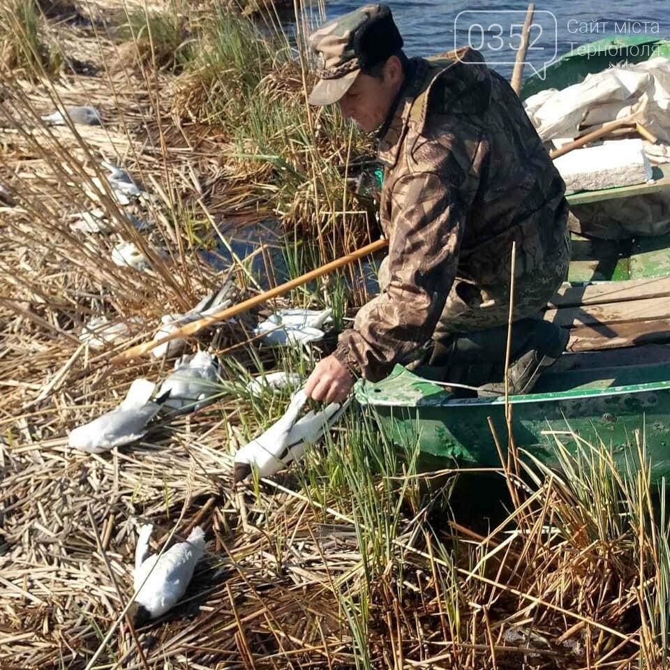 У водоймі, з якої для Тернополя беруть воду, знайдено десятки мертвих чайок (ФОТО), фото-4