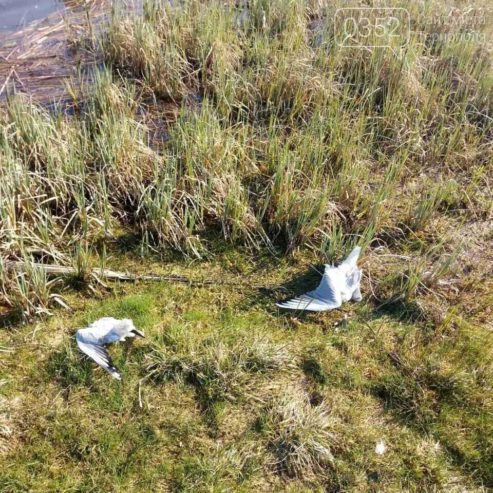 У водоймі, з якої для Тернополя беруть воду, знайдено десятки мертвих чайок (ФОТО), фото-5