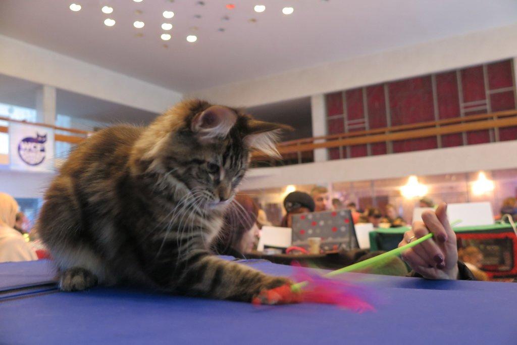 У Тернополі проходить Міжнародна виставка котів «Мурколай» (фото), фото-1