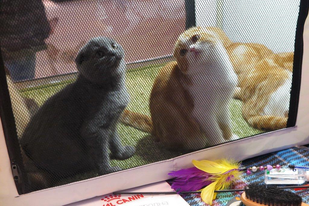 У Тернополі проходить Міжнародна виставка котів «Мурколай» (фото), фото-7