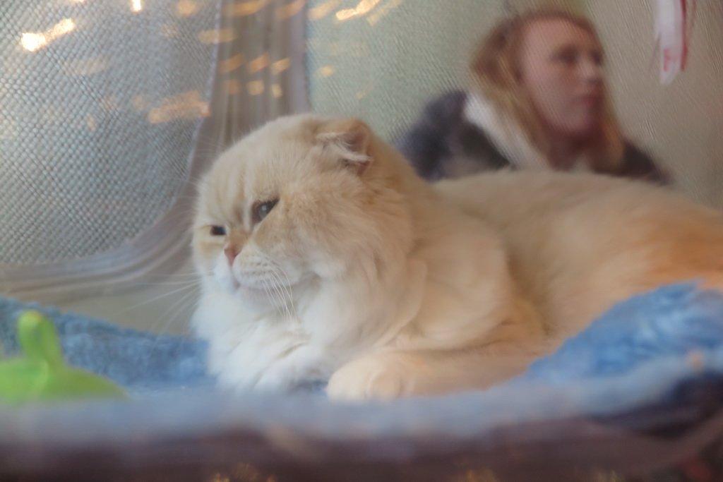 У Тернополі проходить Міжнародна виставка котів «Мурколай» (фото), фото-2