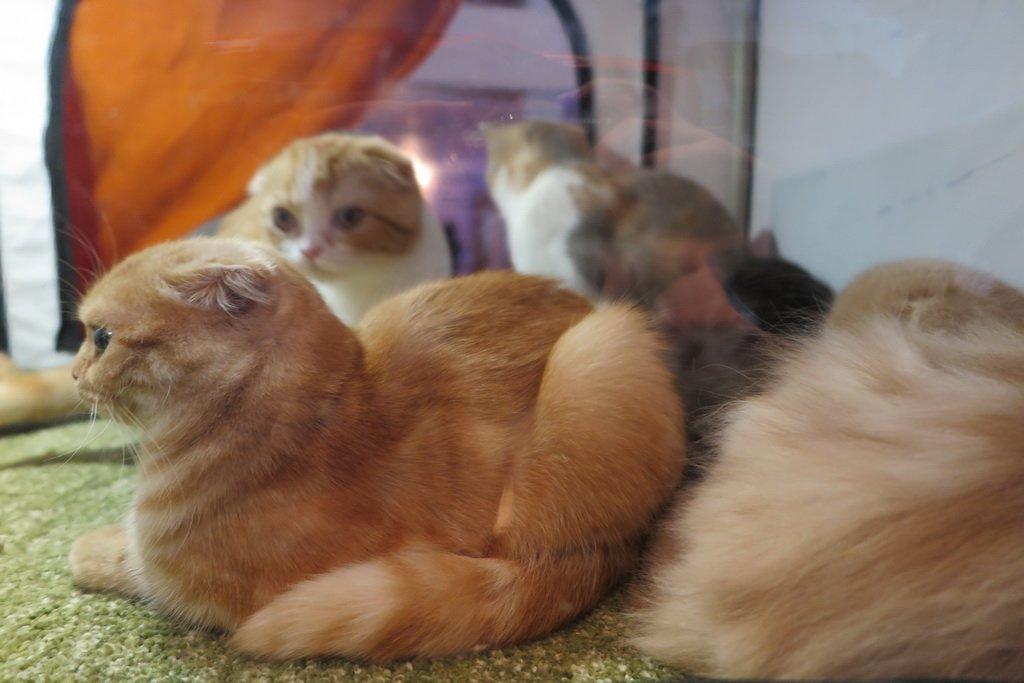 У Тернополі проходить Міжнародна виставка котів «Мурколай» (фото), фото-3