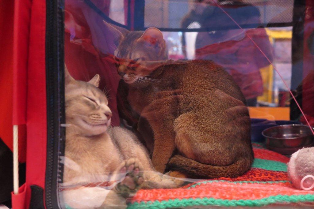 У Тернополі проходить Міжнародна виставка котів «Мурколай» (фото), фото-5