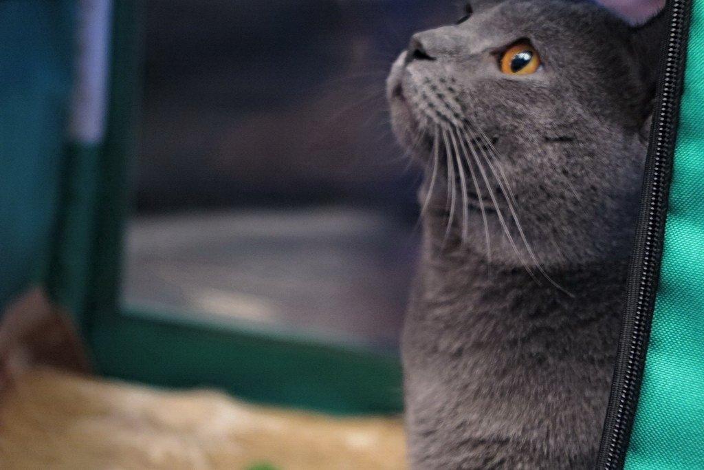 У Тернополі проходить Міжнародна виставка котів «Мурколай» (фото), фото-4