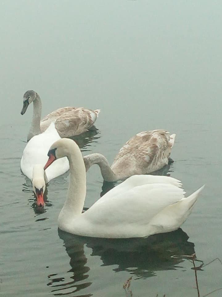 На Тернопільщині рятують від голодної смерті дивовижних птахів (фото), фото-2