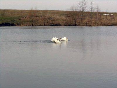 На волю випустили лебедя, якого врятували від лютої зими на Тернопільщині (ФОТО), фото-2