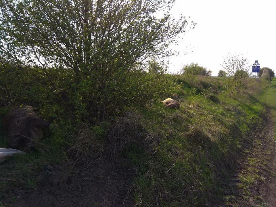 На Тернопільщині на узбіччях дороги виявили туші мертвих свиней (фото), фото-1