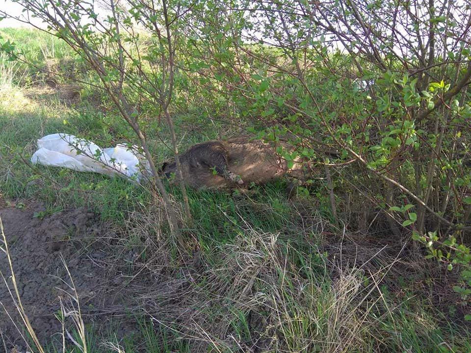 На Тернопільщині на узбіччях дороги виявили туші мертвих свиней (фото), фото-2