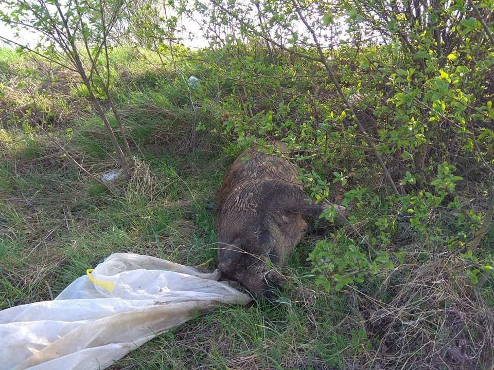 На Тернопільщині на узбіччях дороги виявили туші мертвих свиней (фото), фото-3