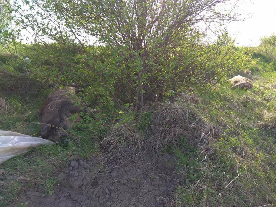 На Тернопільщині на узбіччях дороги виявили туші мертвих свиней (фото), фото-4