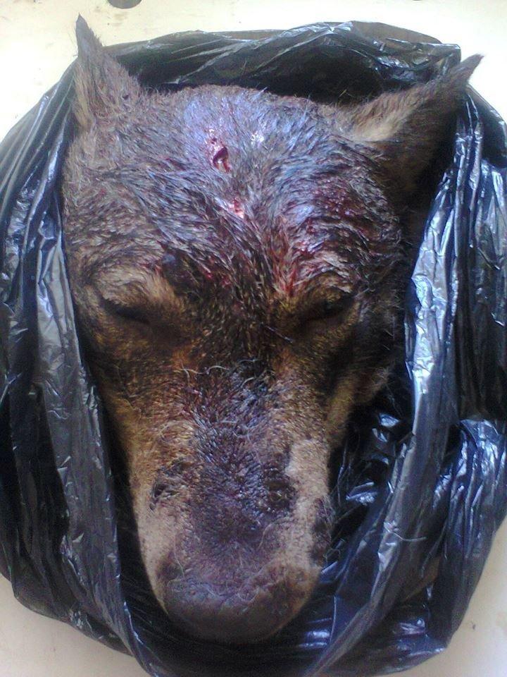 Голови вовків відправили на експертизу: з'явилися фото хижаків, які нападали на людей на Тернопільщині (ФОТО), фото-5