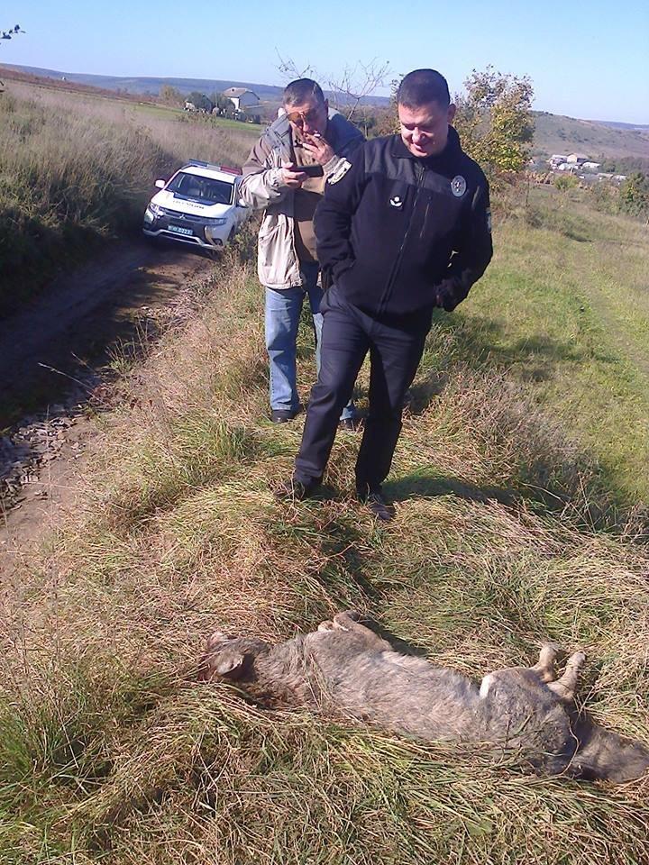 Голови вовків відправили на експертизу: з'явилися фото хижаків, які нападали на людей на Тернопільщині (ФОТО), фото-6
