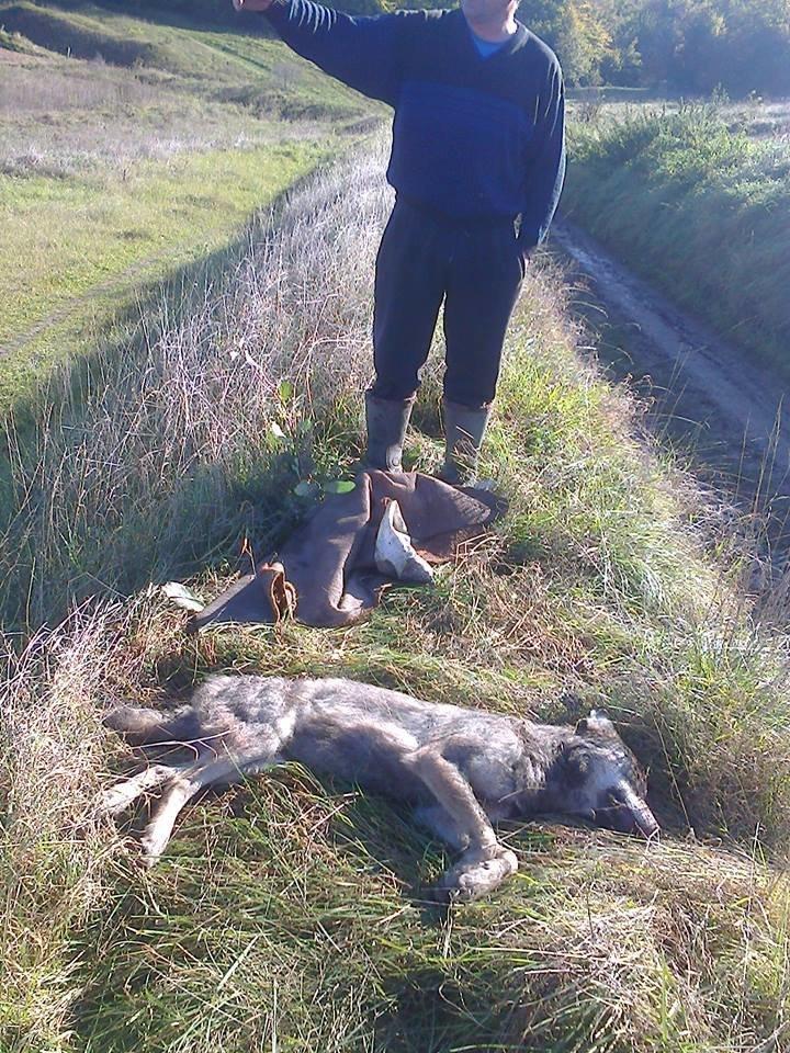 Голови вовків відправили на експертизу: з'явилися фото хижаків, які нападали на людей на Тернопільщині (ФОТО), фото-7