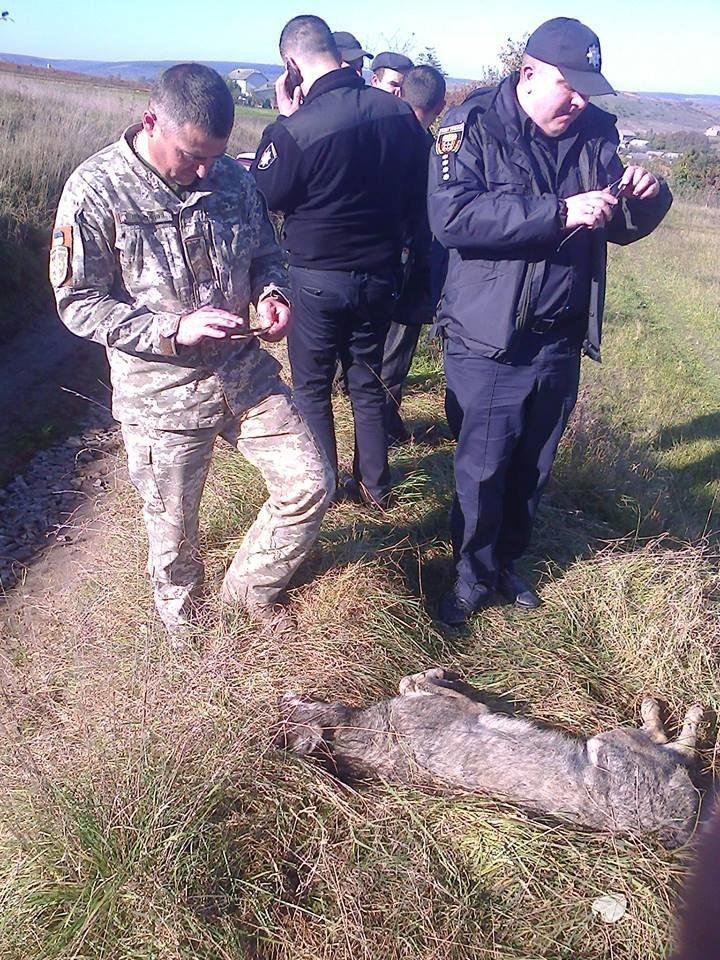 Голови вовків відправили на експертизу: з'явилися фото хижаків, які нападали на людей на Тернопільщині (ФОТО), фото-9