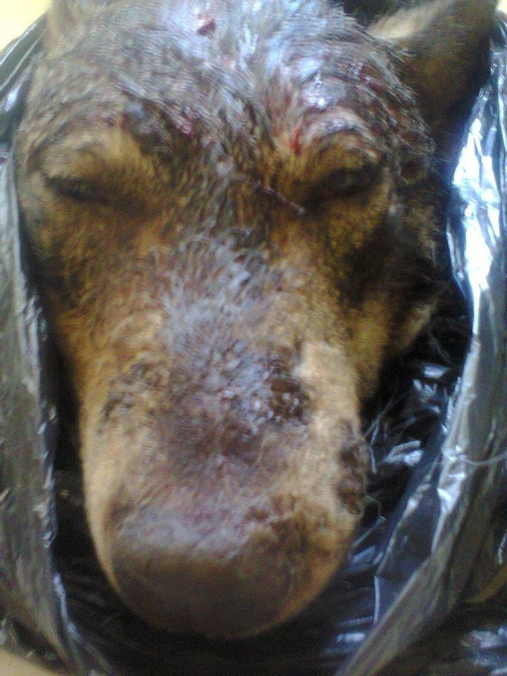 Голови вовків відправили на експертизу: з'явилися фото хижаків, які нападали на людей на Тернопільщині (ФОТО), фото-2