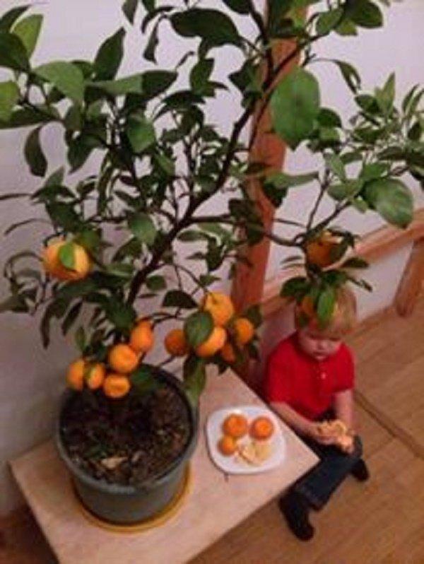 У чоловіка з Тернопільщини лимони родять по півкілограма (ФОТО), фото-2