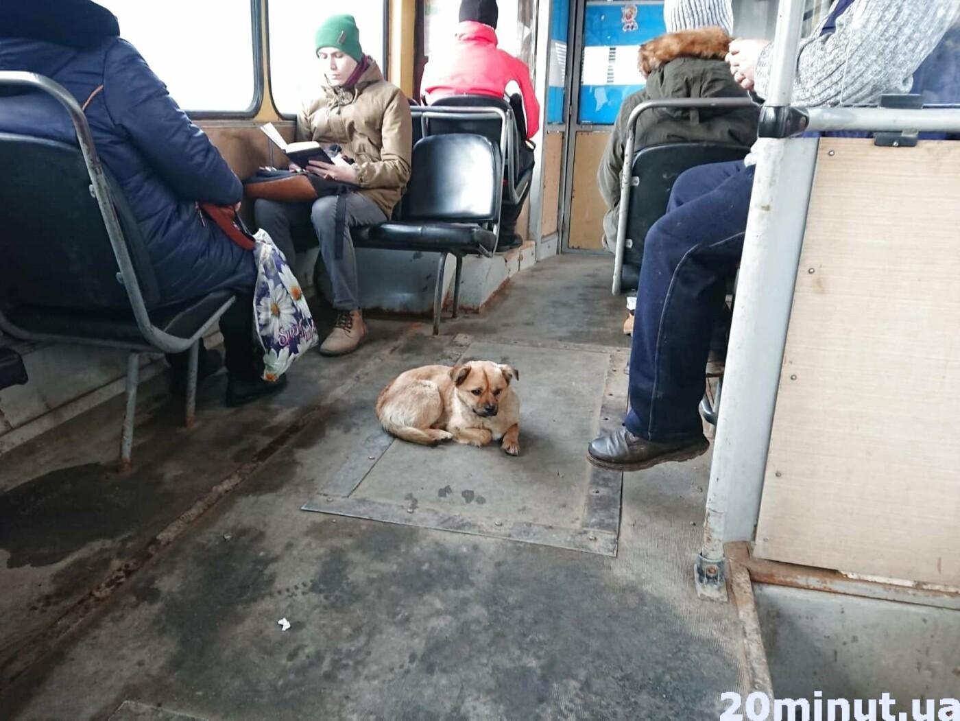У тернопільському тролейбусі №3 їхав незвичайний пасажир (ФОТО+ВІДЕО), фото-3