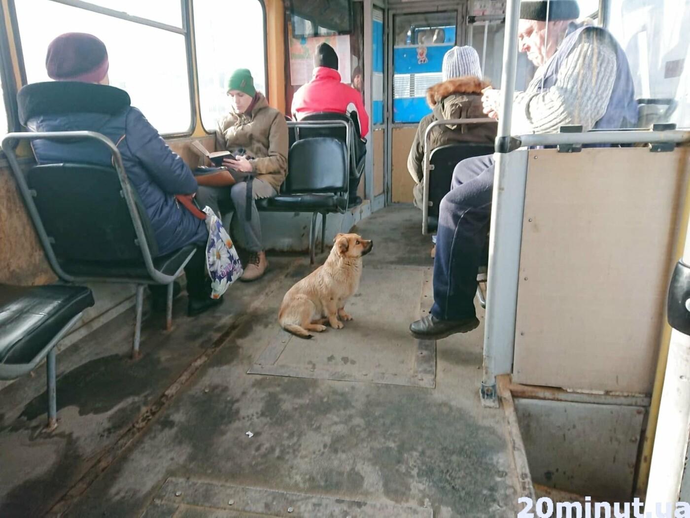 У тернопільському тролейбусі №3 їхав незвичайний пасажир (ФОТО+ВІДЕО), фото-2