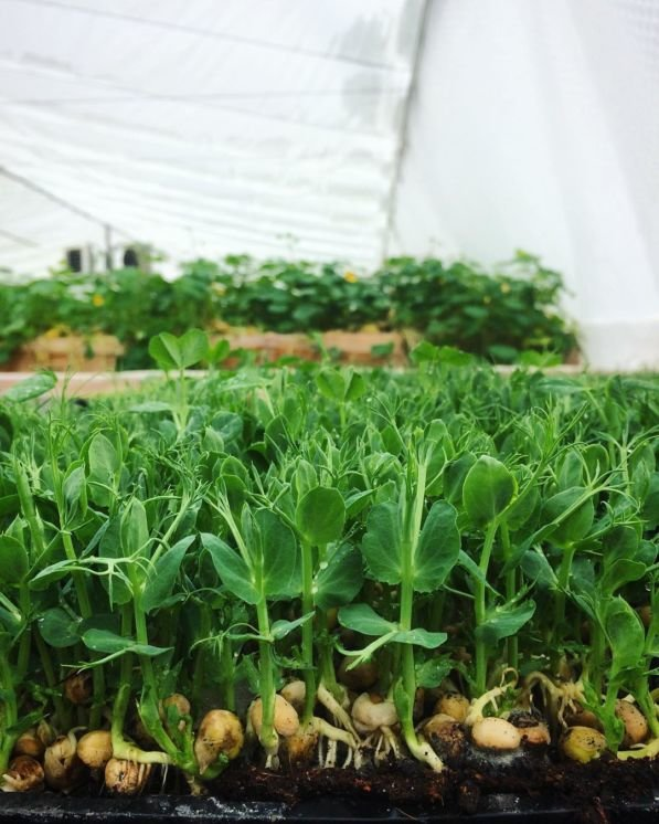 Молоде подружжя з Тернопільщини єдине в цілій області, котре вирощує салат та їстівні квіти без ґрунту (ФОТО), фото-2