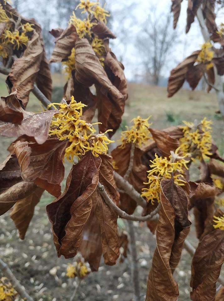 """""""Одночасно зустрілися весна і осінь"""": у ботанічному саду на Тернопільщині квітує дивовижний горіх (ФОТОФАКТ), фото-4"""