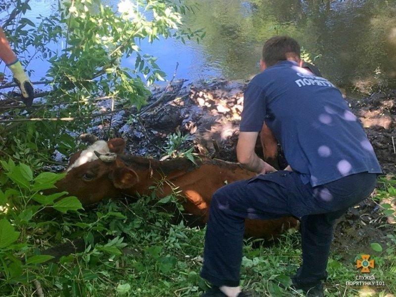 """""""Впала у воду і ледь не загинула"""": на Тернопільщині рятувальники витягли з річки корову (ФОТО), фото-1"""