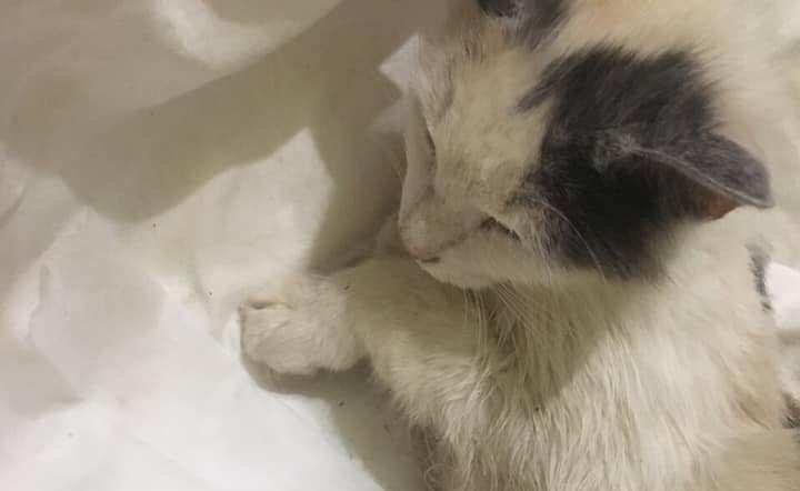 """""""Ветеринар без сліз не міг дивитись на тварину"""": нелюд зґвалтував і замордував кішку в одній із областей Західної України (ФОТО), фото-1"""