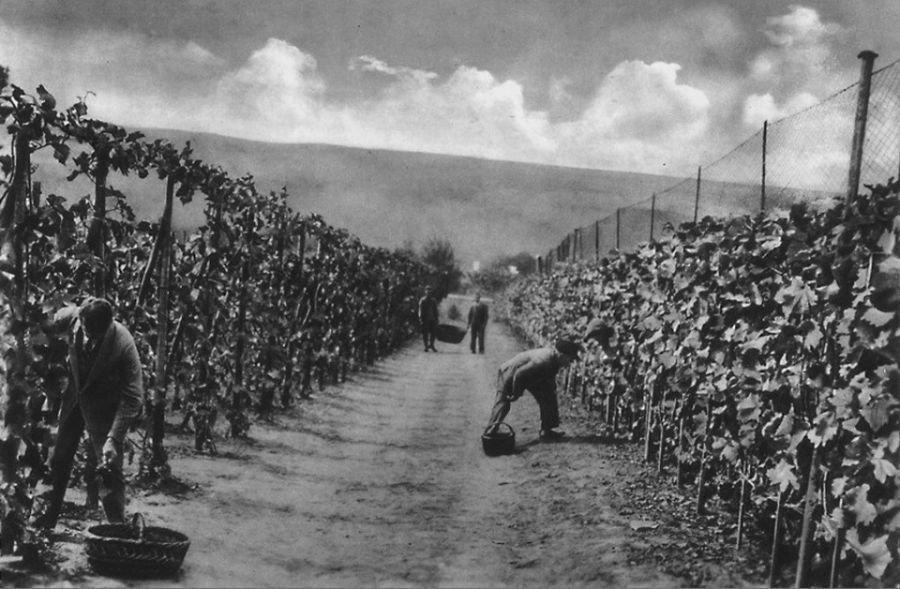 """Цілі """"плантації"""": унікальні кадри, як на Тернопільщині збирали виноградний врожай 100 років тому (ФОТОФАКТ), фото-1"""