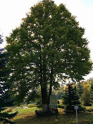 """""""Його батьківщина – Гімалаї"""": на Тернопільщині росте рідкісне та екзотичне дерево (ФОТОФАКТ), фото-1"""