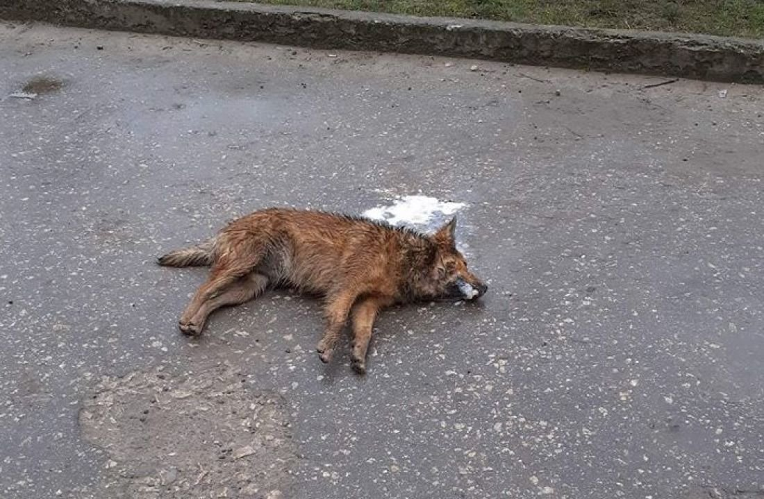 У місті на Тернопільщині собак підгодовують отрутою (ФОТО,18+), фото-1