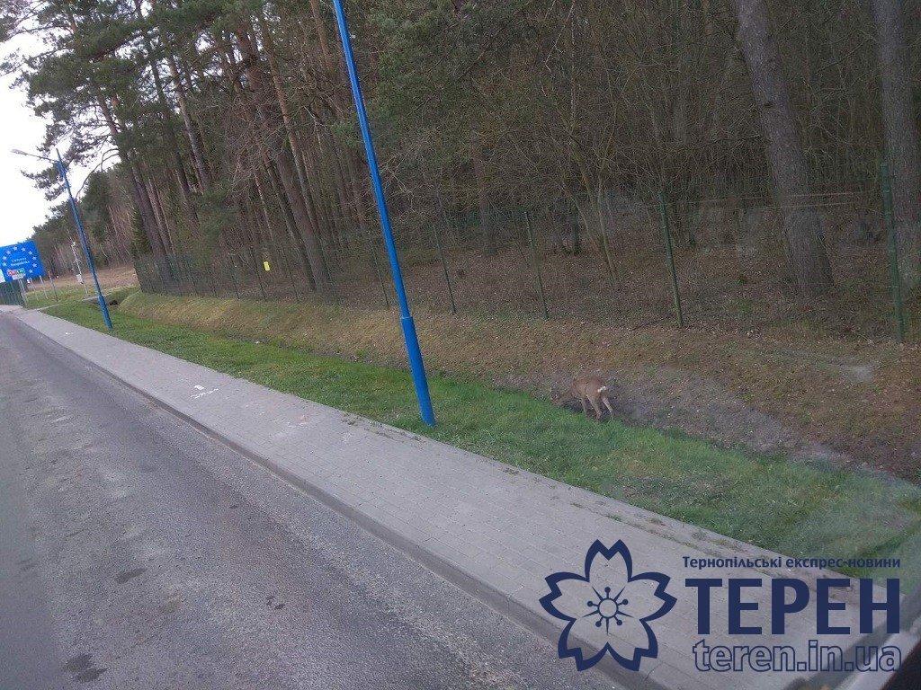 """""""Вперше таке бачу"""": дикі тварини розважали на кордоні тернопільського далекобійника (ФОТОФАКТ), фото-3"""