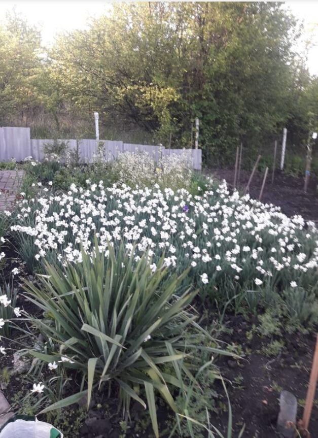 Тернополянин зробив на своєму городі долину нарцисів (ФОТО), фото-3