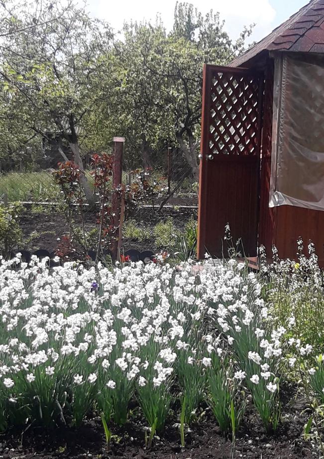Тернополянин зробив на своєму городі долину нарцисів (ФОТО), фото-2