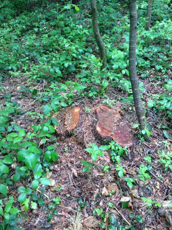 На Тернопільщині вирубують дерева, а пні спалюють (ФОТО, ВІДЕО), фото-1