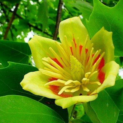 """""""Не під силу відвести погляд"""": на Тернопільщині зацвіло тюльпанове дерево (ФОТО), фото-3"""