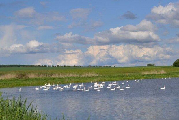 На Тернопільщині 200 лебедів поселилися на ставку і привабили туристів (ФОТО), фото-1