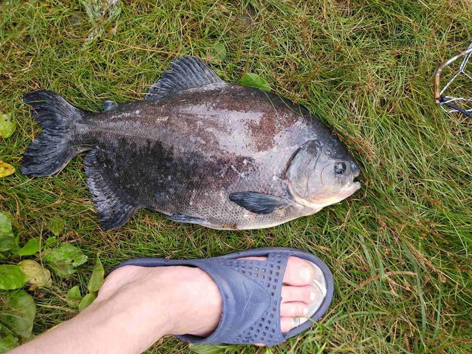 """""""Це шок і диво"""": в озері рибалка зловив рибу з """"людськими"""" зубами (ФОТО, 18+), фото-2"""