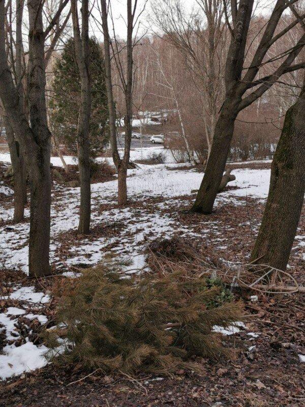 """Відлуння свят: у тернопільському парку з-під снігу """"вилізли"""" новорічні ялинки (ФОТО), фото-1"""