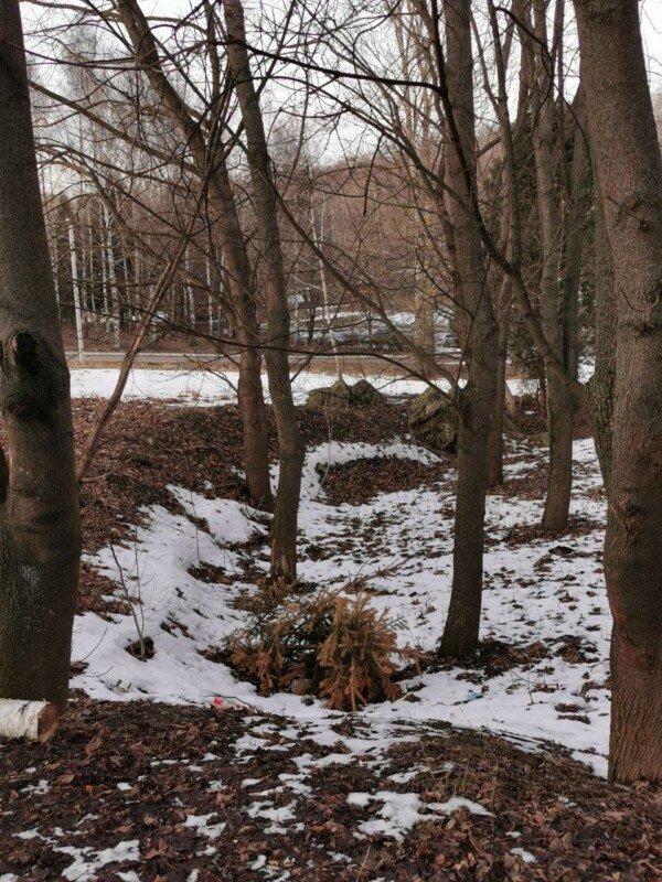 """Відлуння свят: у тернопільському парку з-під снігу """"вилізли"""" новорічні ялинки (ФОТО), фото-2"""
