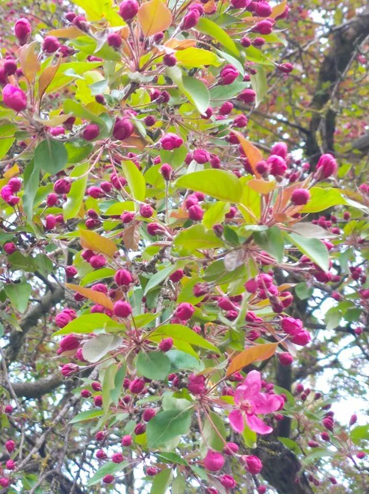"""""""Не має собі рівних ця краса"""": на Тернопільщині зацвіла рідкісна яблуня із листям незвичайного кольору (ФОТОФАКТ), фото-1"""