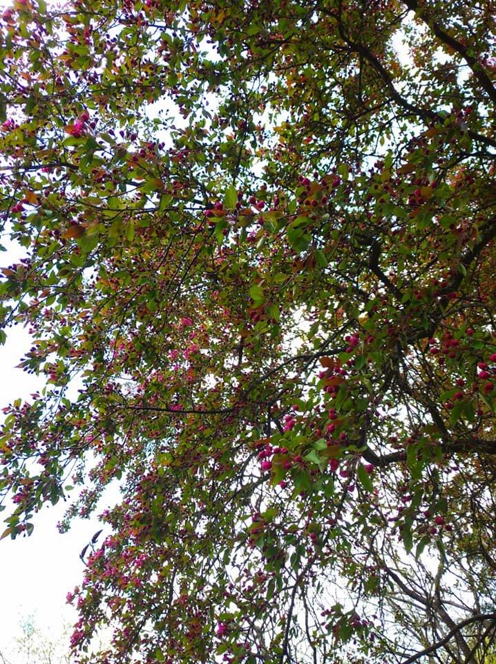 """""""Не має собі рівних ця краса"""": на Тернопільщині зацвіла рідкісна яблуня із листям незвичайного кольору (ФОТОФАКТ), фото-2"""