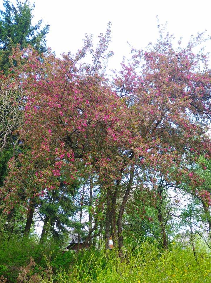 """""""Не має собі рівних ця краса"""": на Тернопільщині зацвіла рідкісна яблуня із листям незвичайного кольору (ФОТОФАКТ), фото-3"""