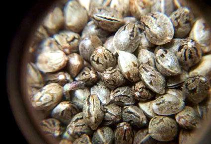 Элитные семена конопли чем вреден марихуана для здоровья